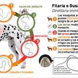 Dirofilariosis Canina