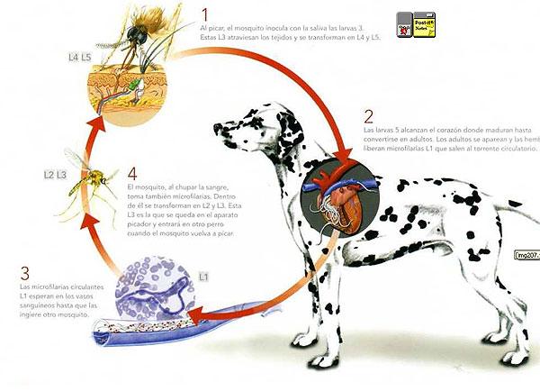 filariosis canina